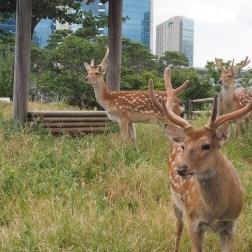 Des cerfs dans la ville